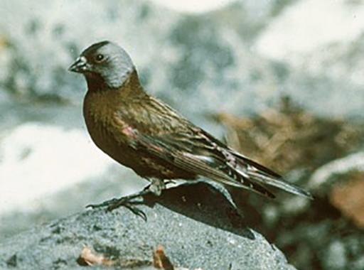 Grey crowned rosy finch photo